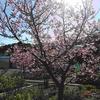 早咲き寒桜?