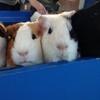【埼玉】定時に帰るモルモットを見よう!! 智光山公園こども動物園