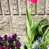 春です、チューリップも咲いてきました。
