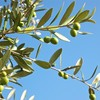 オリーブの葉が黄色くなって落ちるのは?栄養を補ってみた比較