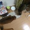 猫の食事について 一日の食事回数と量はどうする