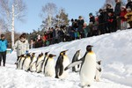 迫力あるキリンと、ペンギンの自由な散歩。 @2月の旭山動物園