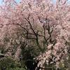華やかな桜が咲き香る都心のオアシス「新宿御苑」でお花見
