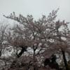 【つれづれ】20170408 ベランダ桜