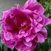 シャクヤクが とても綺麗に咲きました