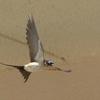 飛翔するコシアカツバメ