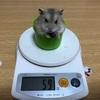 体脂肪率30%から始めるダイエット 60日目 ハムスターとコラボしてみた