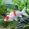 (錦鯉)銀鱗紅白(1匹)