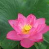蓮の花を見にいきました 1 愛知県愛西市