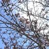 *小さな春を探す旅。桜ウォーキングに初参加です