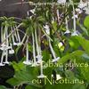 タバコの花 le tabac sylvestre ou Nicotiana