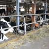 いつか肉になる乳牛たち。ほとんどが放牧ではなく「つなぎ飼い」の日本