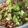 先日買ってきたニッケの根元に生えてたスミレは白花だった!