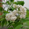 ナナカマドが咲く(Sorbus commixta)