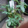 ミニトマトを育てています
