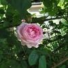 薔薇の香りを確かめながら育てる喜び