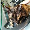 【猫ブログ】プルさんお外で喧嘩し負傷。ココロはゲロリン☆