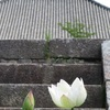西大寺のハス2019年(~8月18日)