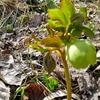 【クリスマスローズ】種の採取に失敗!おまけに今年は花数も少ない。