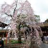 京都の桜、未だ満たず。2017年4月1日