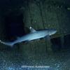 サメの交尾シーズン
