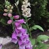 【庭観察】ジギタリスやカンパニュラが咲いて私もハナアブも喜んだ話