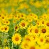 摘み取り自由のひまわり畑:県立大