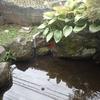 2021年8月20日 庭池のイシガメ孵化