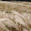 箱根を染める黄金の絨毯 仙石原のススキ草原の絶景☆