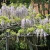 花びらが散った後の桜が・・・、次は藤の花