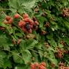 ブラックベリー 初収穫^^ 2013