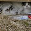 地域猫ブリエちゃんの受難は辛くてたまらないが野生では普通?とりあえず緊急避難。