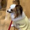 愛犬  シェリーの膿皮症再発