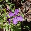 身近な外来植物 紫色の花はショカッサイ?、ムラサキハナナ?、オオアラセイトウ?