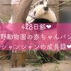 428日齢♥上野動物園の赤ちゃんパンダシャンシャンの成長記録♥