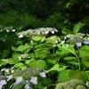 ✿上野公園のアジサイが綺麗です❀
