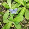 近所の空き地の蝶