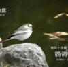 二十四節気七十二候 「白露 鶺鴒鳴」(2017/9/15)