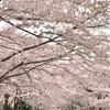 【お花見】4/7 東京花見の穴場、オリンピックセンターは超満開!!雨上がりのお花見・夜桜にもオススメ (2017/4/7) 【子出かけ】