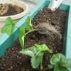 白イチゴの定植