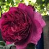 5/2のベランダ ヤングリシダスとボレロが咲きました