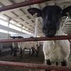 シープシェアリング(羊の毛刈り)に行って来ました!農場視察②