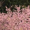 茨城:雨引観音は河津桜が満開!キレイな孔雀も見れますよ!