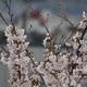 部屋から満開の桜を花見
