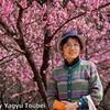 背景は満開の花桃