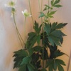 嵯峨野の白い花が咲いた
