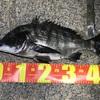 2020/12/4  釣行記 水路で冬の釣り、チヌ47センチ!