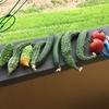 グリーンカーテン 初めての四角豆の収穫と今朝の収穫