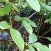 ブルーベリー収穫。