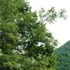 乗鞍高原のジョウビタキ(オス)と植物(その1カラマツソウ、ギボウシ、水滴、ヒオウギアヤメ))